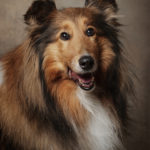 Ritratto del cane pastore scozzese - Borgo Leoni Fotografia di animali a Ferrara e Bologna - Fotografo Ferrara