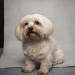 Ritratto del cane maltese - Borgo Leoni Fotografia di animali a Ferrara e Bologna