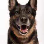 Ritratto di cane di razza pastore tedesco presso Bomb Studio - Borgo Leoni Fotografia a Ferrara, Bologna ed Italia