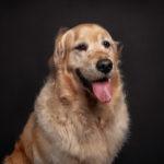 Ritratto del cane di razza golden retriever presso Bomb Studio - Borgo Leoni Fotografia a Ferrara, Bologna ed Italia