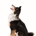 Ritratto del cane pastore a Borgo Leoni Fotografia di Marija Obradovic a Ferrara e Bologna