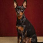 Ritratto di cane di razza pintcher presso Bomb Studio - Borgo Leoni Fotografia by Marija Obradovic, fotografa a Ferrara, Bologna ed Italia