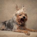 Ritratto di un yorkshire terrier presso Bomb Studio - Borgo Leoni Fotografia a Ferrara, Bologna ed Italia