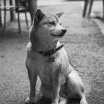 Ritratto di un shiba inu - Borgo Leoni Fotografia di animali a Ferrara e Bologna