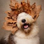 Ritratto di un cane di razza bobtail con la corona - Borgo Leoni Fotografia di animali a Ferrara e Bologna