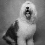 Ritratto di un cane di razza bobtail - Borgo Leoni Fotografia di animali a Ferrara e Bologna
